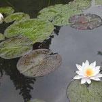 神山町の森林公園の近くで見た睡蓮です。咲き始めたばかりでした。 ・峡の奥静かな小池羊草 (和良)