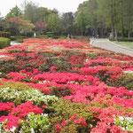 徳島城公園の躑躅です。グラン・プラスの花の市のように綺麗でした。 ・ベルギーの花の市ふと群躑躅 (和良)