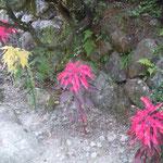 妻籠宿の中山道では路地に葉鶏頭が植えられていました。                             ・街道の路地に明るき葉鶏頭(和良)