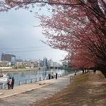 クルージング船から助任川南岸の蜂須賀桜を見る人もいました。     ・みそさざい来てひよめじろ来る桜(和良)