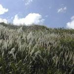 塩塚高原は見渡す限りの芒の原でした。銀色の穂波が綺麗でした。 ・逆光に浮かぶ尾花の銀の波 (和良)