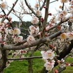綺麗に剪定された梅の枝に満開の花が咲いていました。                ・満開の梅の香りに独りゐる(和良)