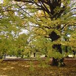 新宿御苑の大銀杏です。散り始めていました。                  ・大胆にしてしなやかに銀杏散る(和良)