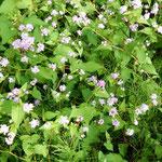 安土城の城跡近辺には自生したのでしようか。蕎麦の花が咲いていました。   ・安土城ありしは昔蕎麦の花(和良)