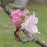 文化の森の裏山の広場では小さな桜に帰り花が咲いていました。 ・添へ木さる小さき桜に帰り花(和良)