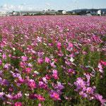 徳島県阿南市羽ノ浦町では刈田を埋め尽くしてコスモスが咲き競っていました。  ・刈田埋め尽くしコスモス生い茂る(和良)