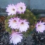 仙人掌の花は夕方になると最後の輝きを見せていました。  ・美人薄命仙人掌の花もまた(和良)