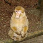 Affenberg in Salem, Berber-Affe wartet aufs Popcorn