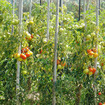 Reichenauer Tomaten