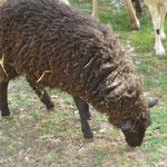"""das """"schwarze"""" Schaf"""