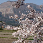 藤原岳をバックに飯倉地区の満開の桜