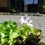 猛暑の中元気に咲いた 千とせのホテイアオイ