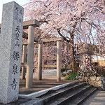 勝泉寺のしだれ桜 樹齢340年の名木! 千とせから車で3分ですよ!
