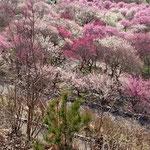 東海地方一の規模を誇る梅林公園!紅白で彩られた梅林は圧巻です‼️