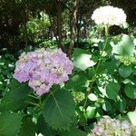 アジサイの名所 北勢町万葉の里公園 5000本のアジサイが咲き誇ります