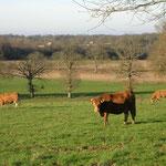 Troupeau de vaches allaitantes (ration= herbe+maïs épis)