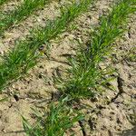 Levée d'adventives dans du blé