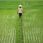 Rijstveld in Vietnam