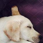 Leo. Šīs labradorlāčuks mīl gulēt cieši blakus savai saimniecei! Viņš ir džentlmenis, jo sargā viņas sapņus!