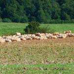 Schaf - Erlebnis