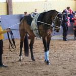 Brisante vor ihrem 1. Turnierstart in Adenau 2016