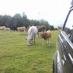 ... mussten wir uns kurzfristig mit einer Kuhherde teilen