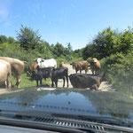 Kuhherden sind wir oft begegnet. Die konnte man aber besser passieren als Pferdeherden.