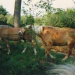 Unsere alten Haflinger Groll und Wariner