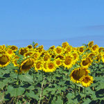 Sunflowers, all around Larressingle