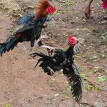 Unblutiger Hahnenkampf in Nordostthailand