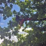 Totholzentfernung bei einer Eiche