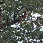 Eiche / Quercus Robur
