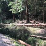 Baumfällarbeiten im Forst