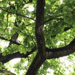 Nest des Eichenprozessionsspinner