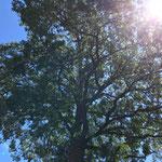 Quercus Robur (Stieleiche) mit Eichenprozessionsspinnerbefall