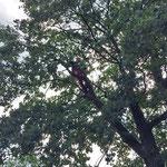 Totholz entfernen bei einer Eiche