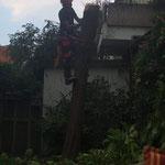Fällung eines über die Garage hängenden Trompetenbaum