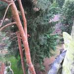 Fällung von 5 Nadelbäumen