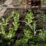 Frisch gepflanzter Zupfsalat (grüner Eichblatt)