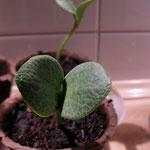 Noch sehen die Kürbis-Pflanzen ja niedlich aus ...