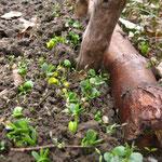 Die Gründüngung am Treibholzzaun geht gut auf