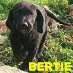 Bertie - Zuhause gefunden