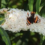 Dieser Schmetterling ist ziemlich zugerichtet von Vogelschnäbeln.