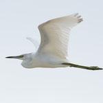 Bunchee Beach; Great Egret; Nikon D500 + AF-S 200-400