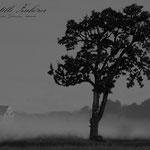 """""""Der Stille Zuhörer"""" - Alter Birnbaum in Ratheim / Vogelsang"""