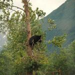 Beren (zelfs in de boom)