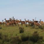 Westport - Deer (Damwild)