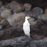 Akaroa - Akaroa Harbour - Sea raven (Kormoran)