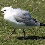Westport - Seagull (Seemöwe)