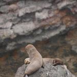 Palmerston - Shag Point - Four seals